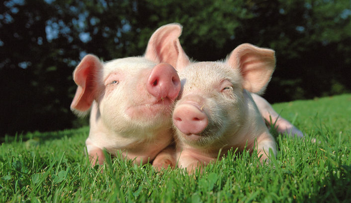 実は可愛い豚! 芸能人やセレブからも愛される豚の魅力を紹介!   マチコネ