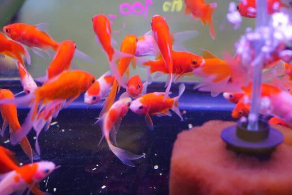 癒し効果抜群! 金運アップ効果も? 都内で金魚に関連するカフェや施設をご紹介