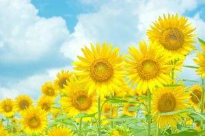 青空と黄色いひまわり