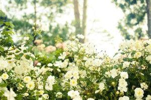 木洩れ日の中に咲くバラ