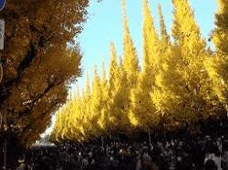青山外苑-黄色