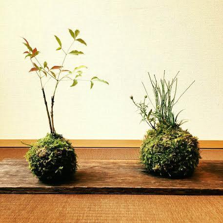山野草 苔玉 - コピー