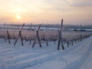 冬 ブドウ園