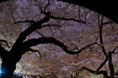 sakura_night_01