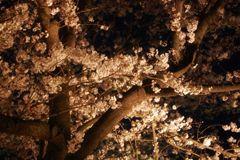 sakura_night_03