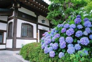 kamakura-ajisai-temple6